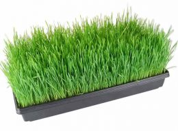 Wheat Grass - Tray