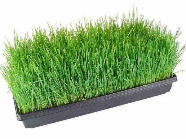 Wheat Grass – Tray