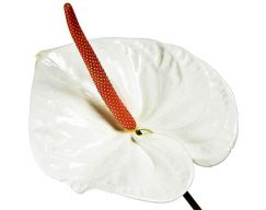 White Anthurium