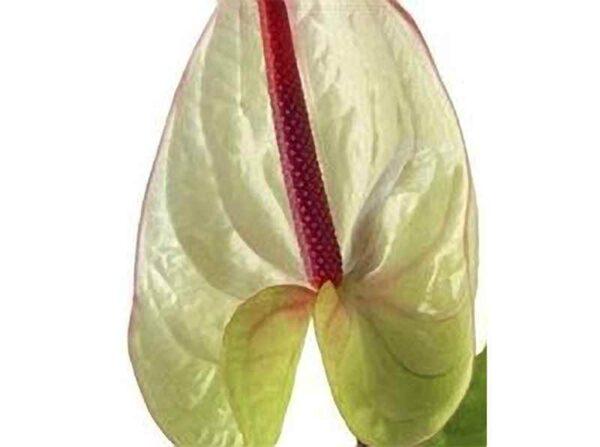 White Obake Anthurium
