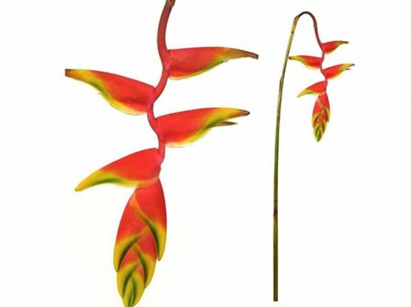 Heliconia – Hanging Rostrata