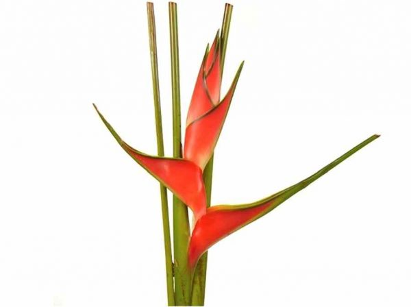Heliconia – Upright Red