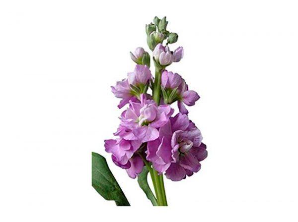 Lavender Stock