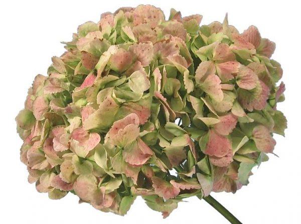 Pink Antique Hydrangea