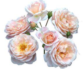 Premium Garden Roses