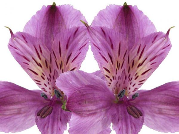 Purple Alstroemeria