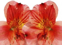 Red Alstroemeria