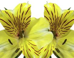 Yellow Alstroemeria