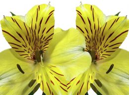 Yellow Alstroemeria