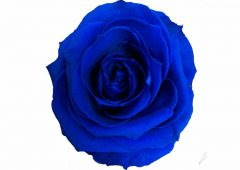Dark Blue Preserved Rose Head