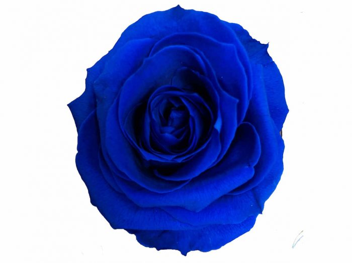 Dark Blue Preserved Rose Head