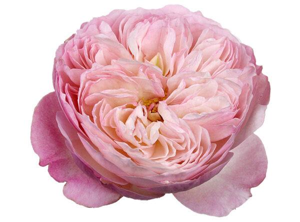 Rose Garden David Austin Constance