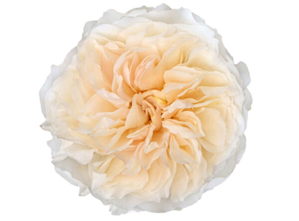 Rose Garden David Austin Eugenie