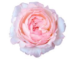Rose Garden David Austin Keira